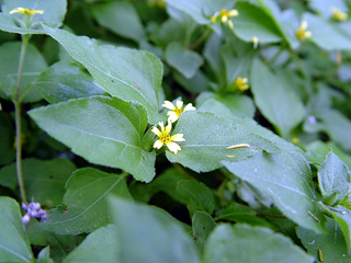 Straggler daisy