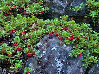 Arctostaphylos uva-ursi (Kinnikinnick)