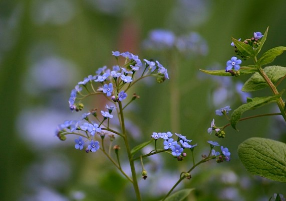 perennial forget me nots