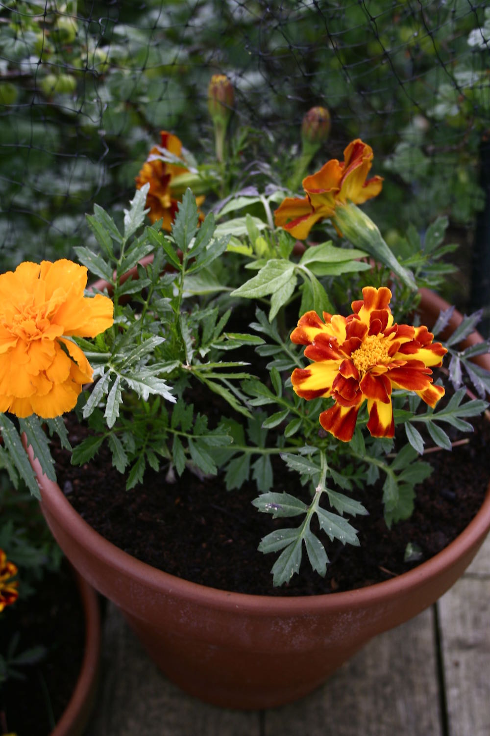 tagetes tomatoes
