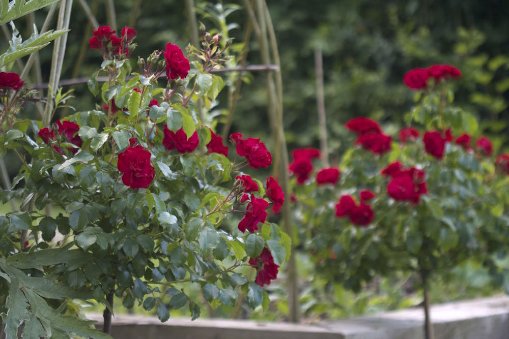 red standard roses