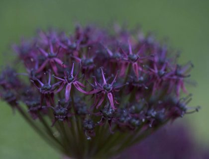 deep purple allium