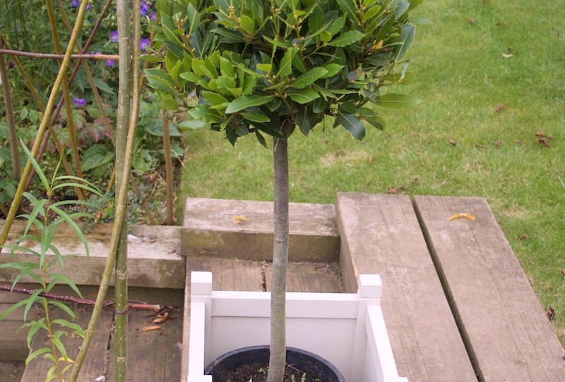 bay tree planter