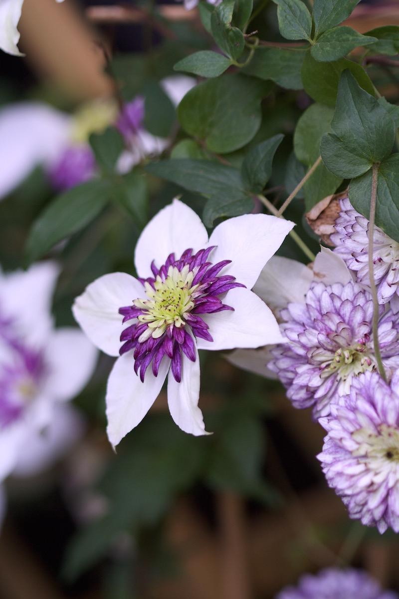 late flowering vienetta clematis