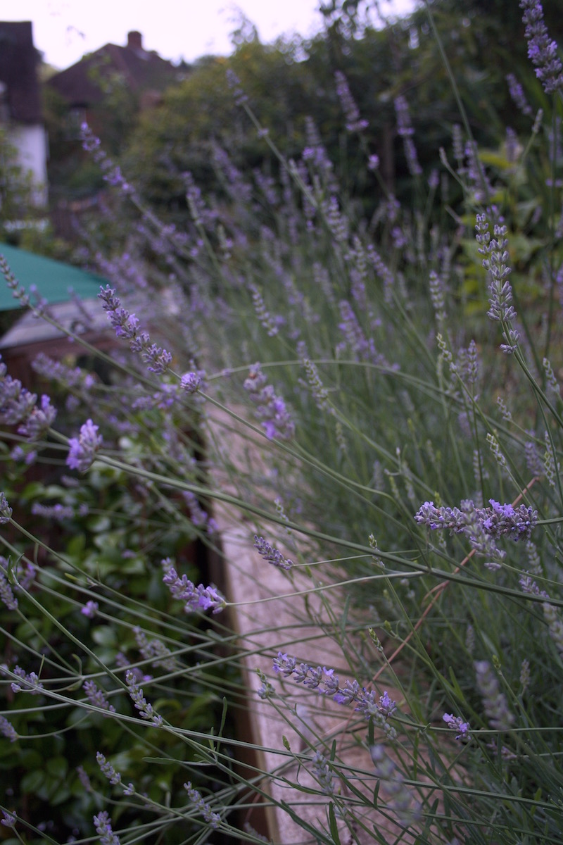 lavender bed renovated