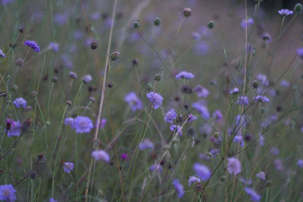 scabious many