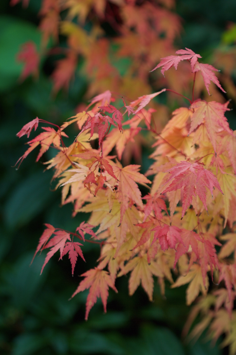 acer coral