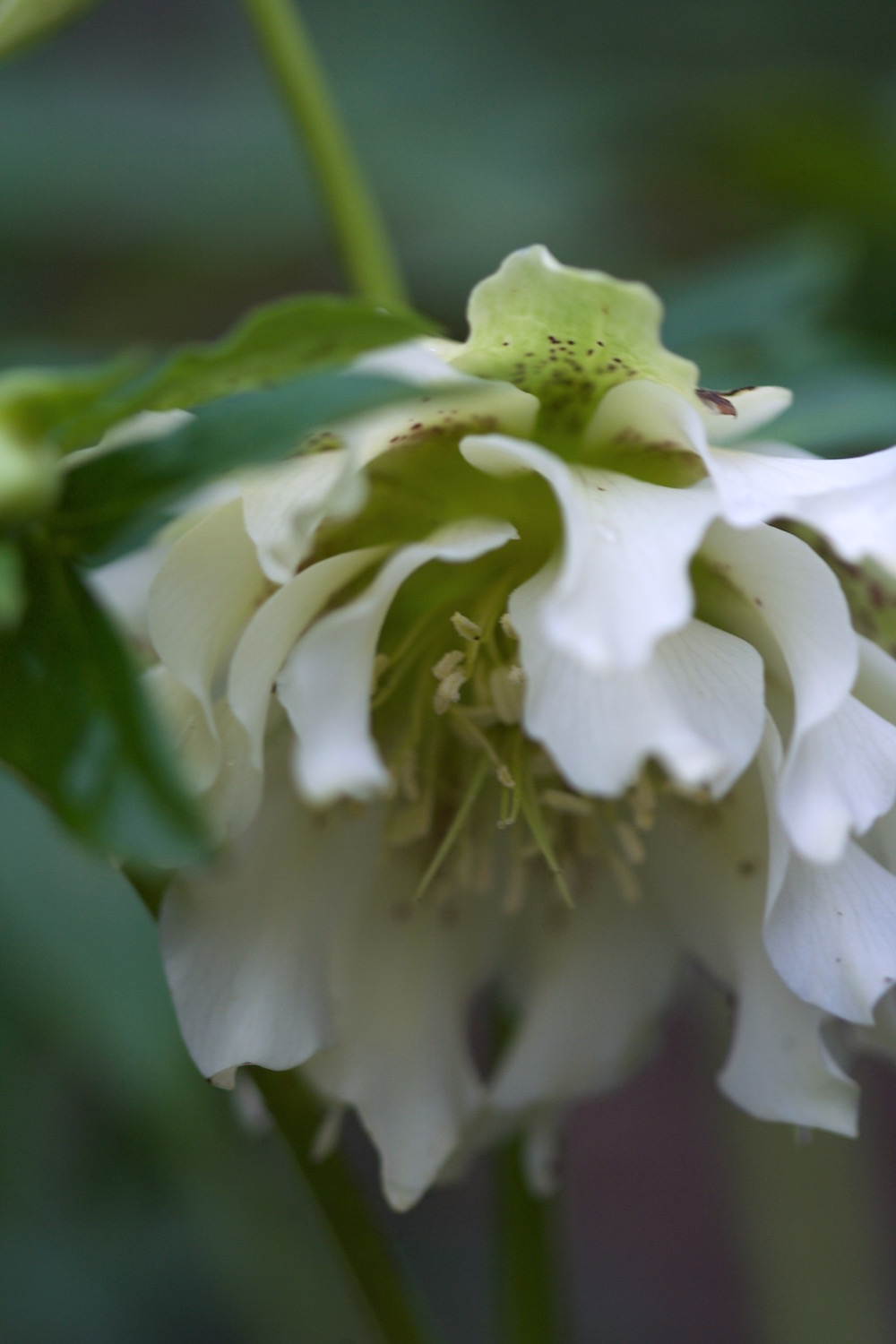 double white spotted hellebore