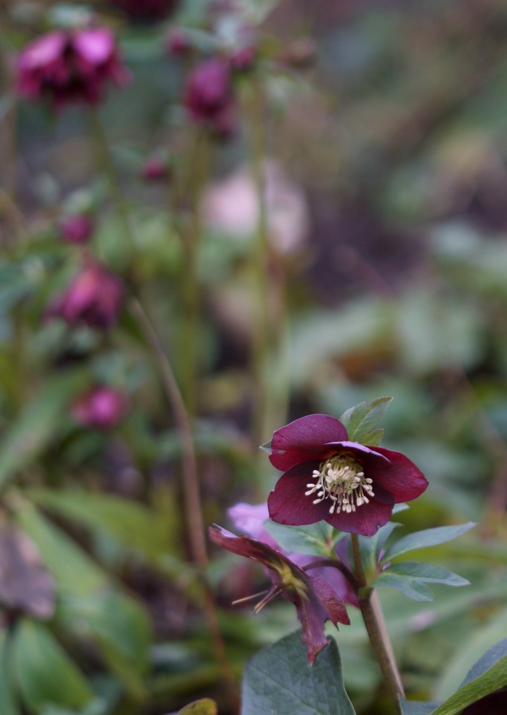 smokey blue with double hellebores