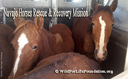 Navajo Orphaned foals