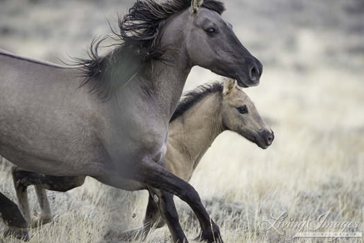 Grulla mare with her foal