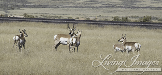 We had a far better view of the pronghorn antelope family