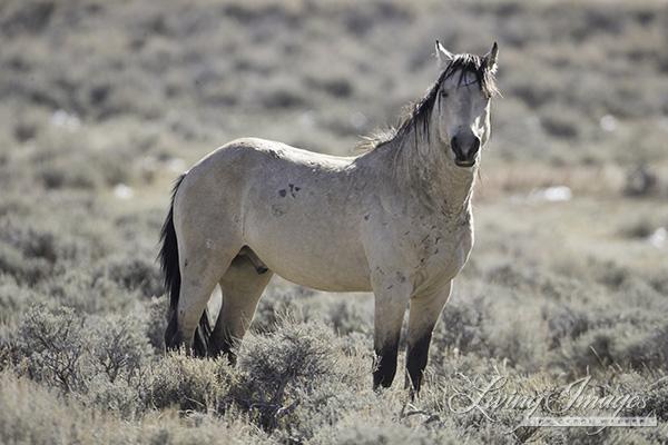 A buckskin stallion