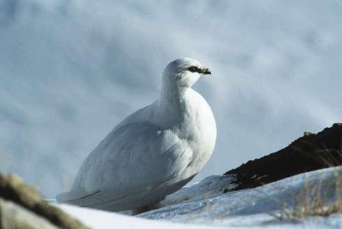 Alpenschneehuhn ©P. Schild