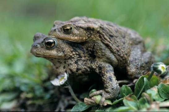 Erdkrötenpaarung©H-Glader/piclease