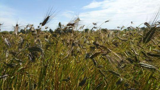 Einkorn, eine der ältesten domestizierten Getreidearten, die vom wilden Weiden abstammt.