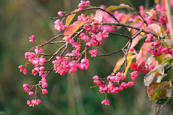 Euonymus_J-Hemmer_piclease_image41416_1600