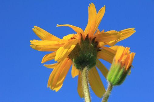 leuchtend gelbe Blütenköpfe der Arnika©T.Kirchner
