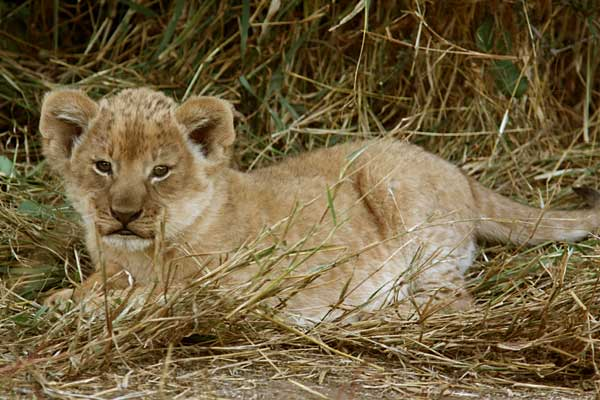 Baby Lion Pictures Including Lion Cubs With Mothers And Juvenile Siblings Romping And Play Fighting