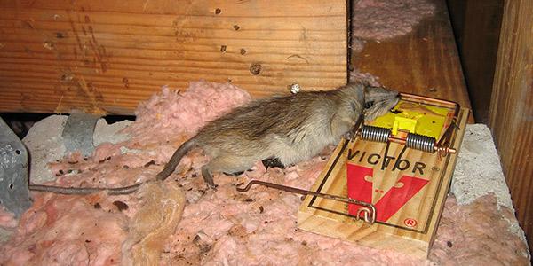 Mice In Ceiling Of Mobile Home Nakedsnakepress Com