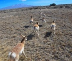 Pronghorns captured and relocated to Santa Ana Pueblo and southeastern New Mexico. New Mexico Department of Game and Fish, news release 2-3-2017