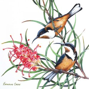 Eastern Spinebills