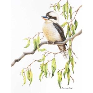 Contented - Kookaburra