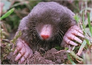 Image result for mole animal