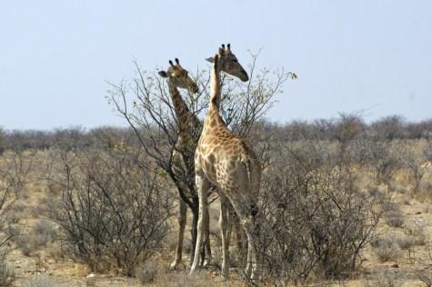 Etosha - Giraffen