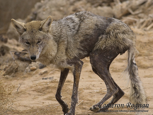 Coyote with Moderate Case of Mange