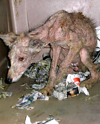 Adult Coyote with Severe Mange and Emaciation