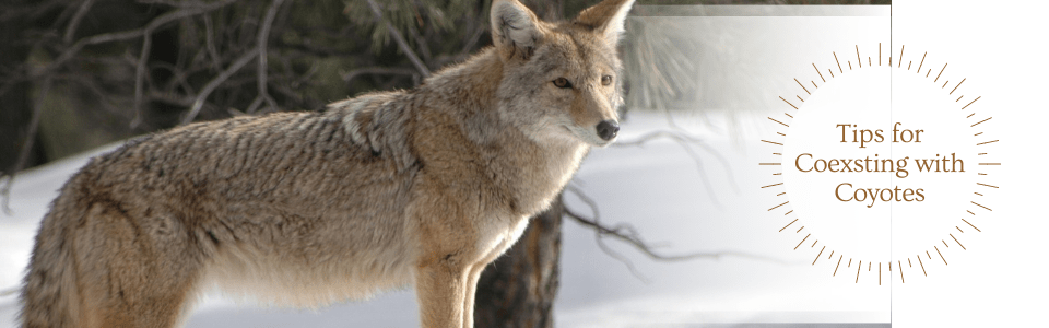 Tips for Coyotes