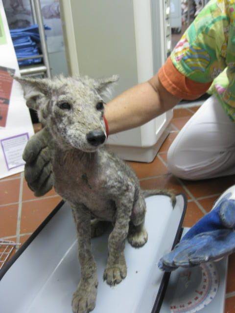 Coyote Pup Close Up of Severe Mange.