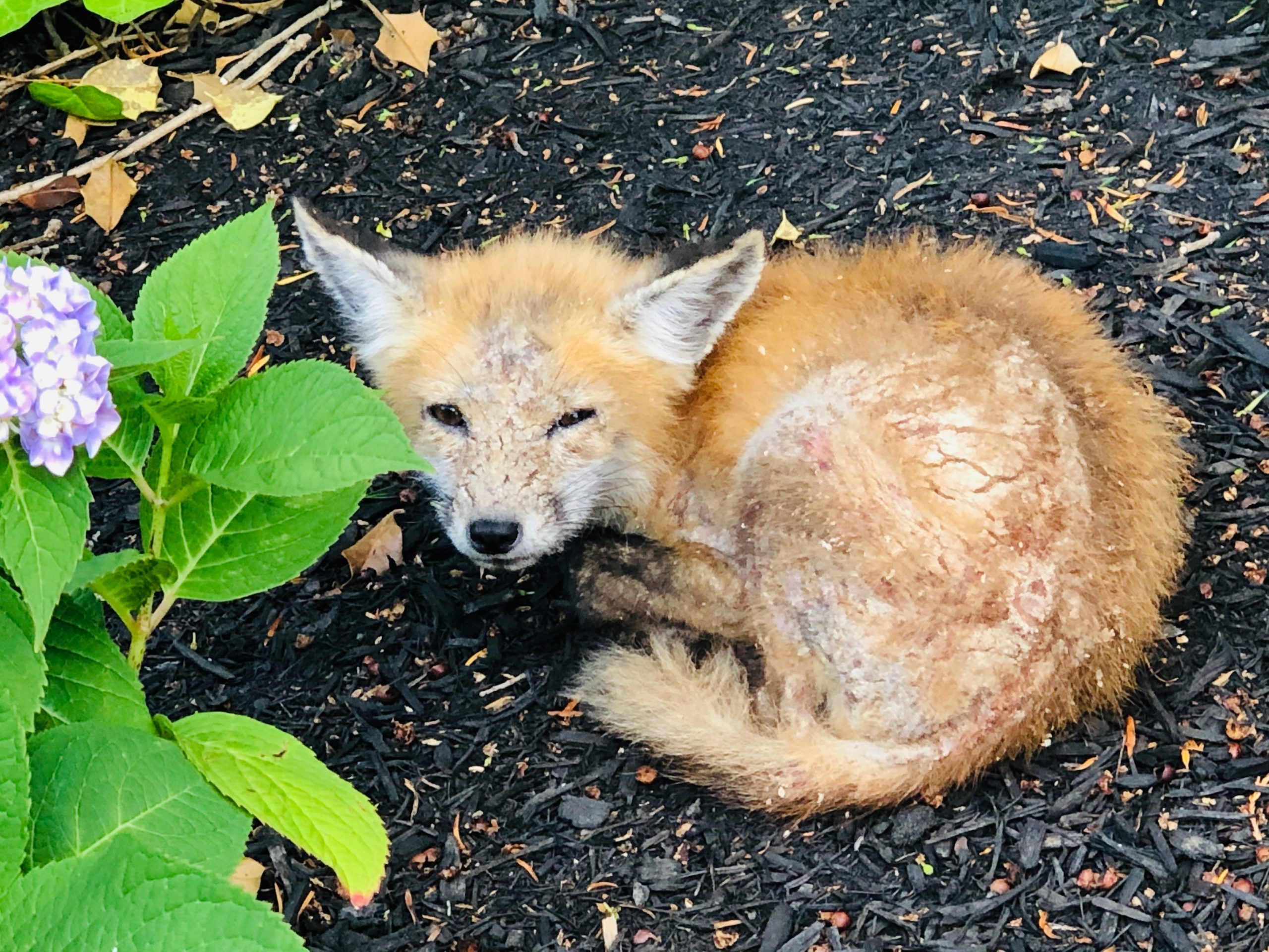 Red Fox Kit with Mange