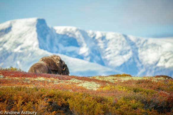 11I7789 900x600 Eagle & Musk Ox Trip Report