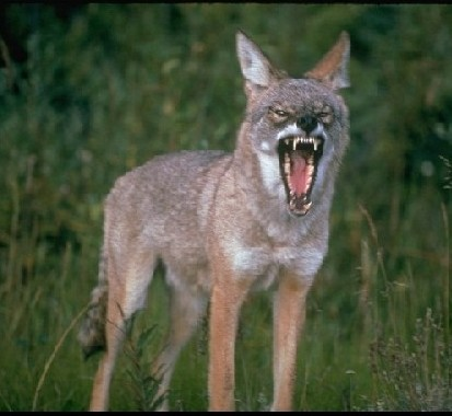 Wild Coyote poised for attack