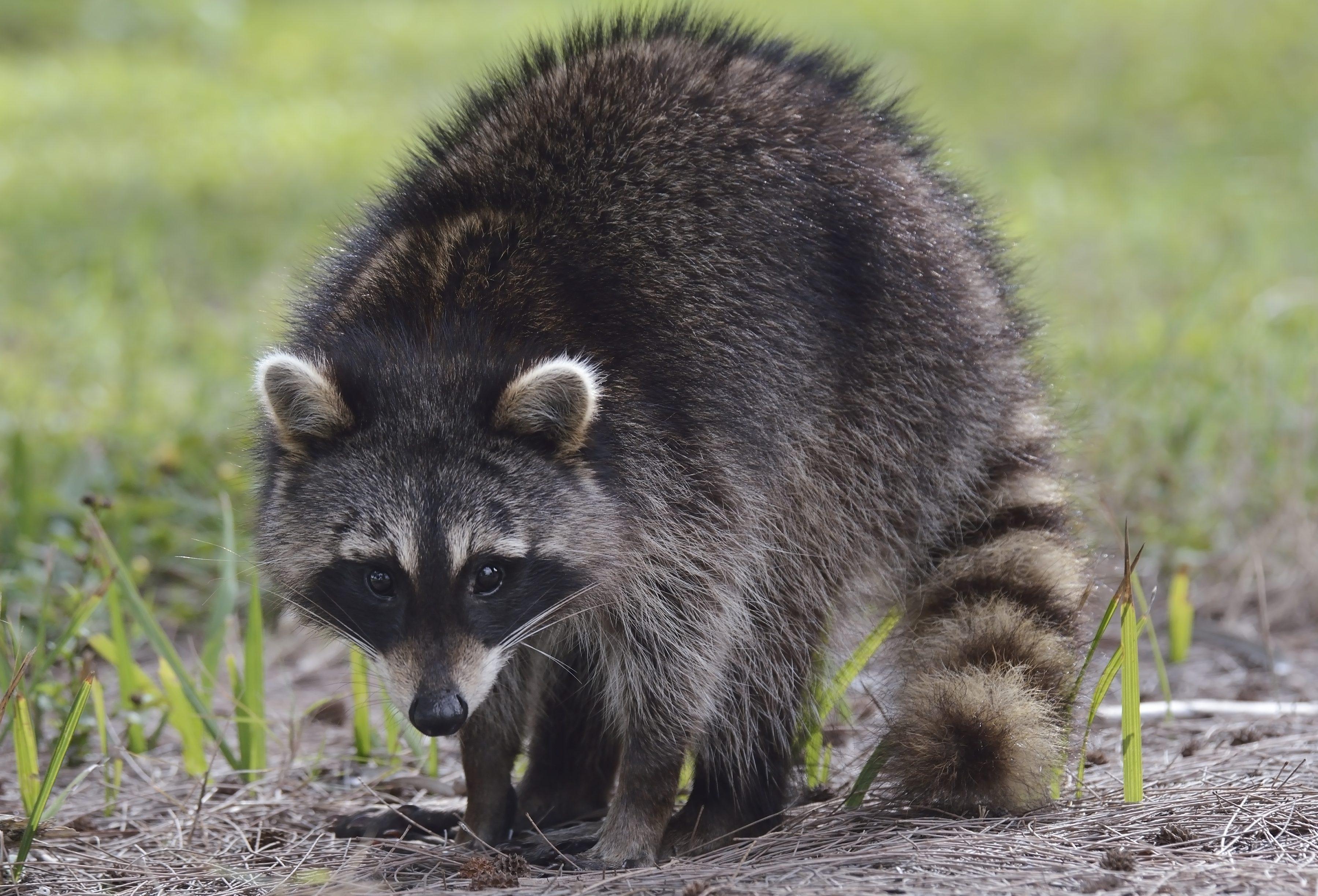 Get Rid Of Raccoons Before Hibernation Season Begins In