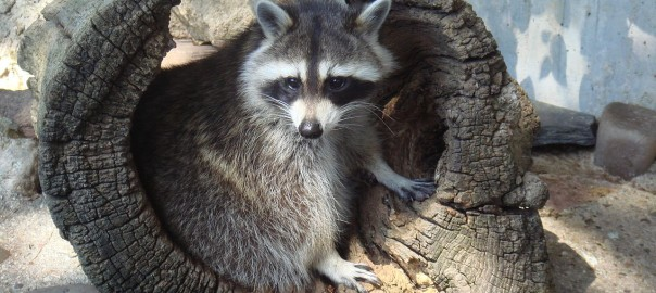 How To Keep Raccoons Out Of A Garden Wildlifeshield Ca