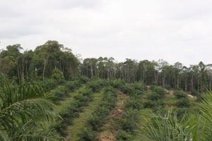 Recent conversion of rainforests to oil palm plantations in the province of Jambi, Indonesia, is threatening not only the forests but also the services it provides. Photo courtesy of Yann Clough