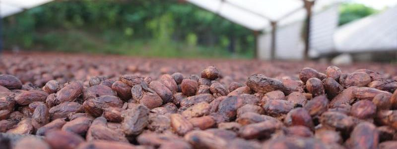 EC | Why deforestation-free cocoa and palm oil are so elusive