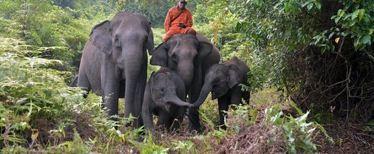 AN   Tesso Nilo's elephants show signs of stress due to forest fire