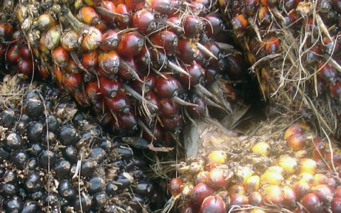 Beecologist | The Oil Palm Debate: Fatal Chop or Wonder Crop?