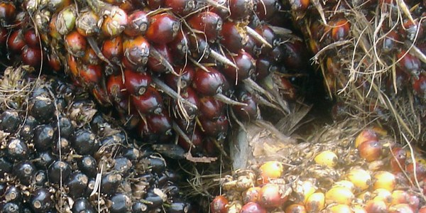 SOS | Thoughts on the palm oil industry from conservation and business experts