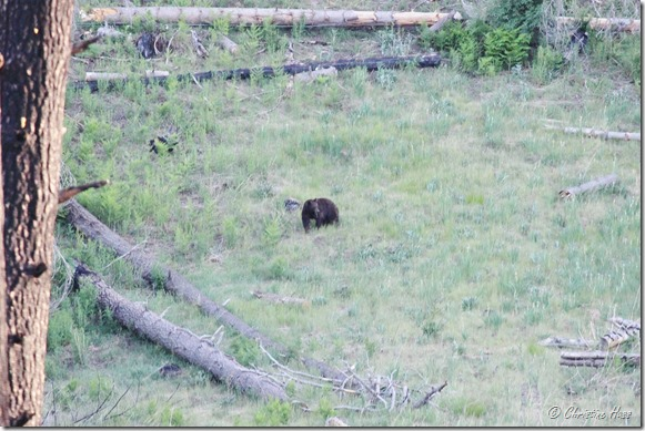 A bear grazes in a forest opening near camp. Chiricahua Mountains, 2016.