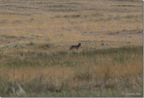A distant look at an unmarked lobo