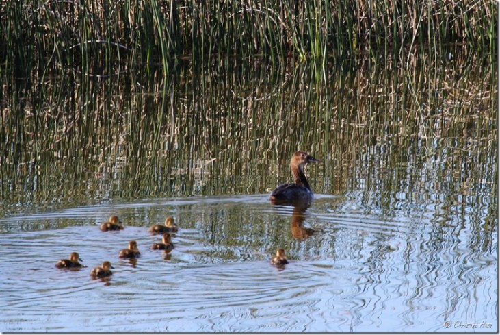 Family of northern shovelers.