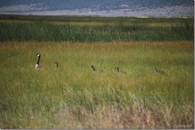 Family of Canada geese sneaking through the sedges.