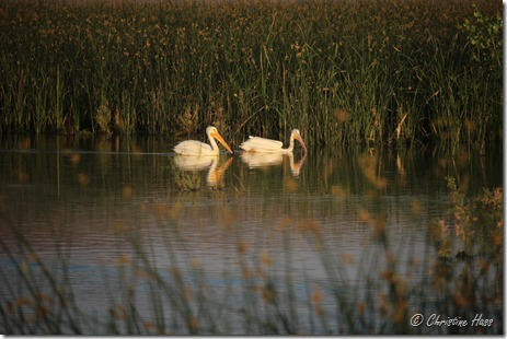 White pelicans on a summer afternoon, Stillwater National Wildlife Refuge