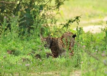 Iberische lynx in 2010 (© Johan Bos)