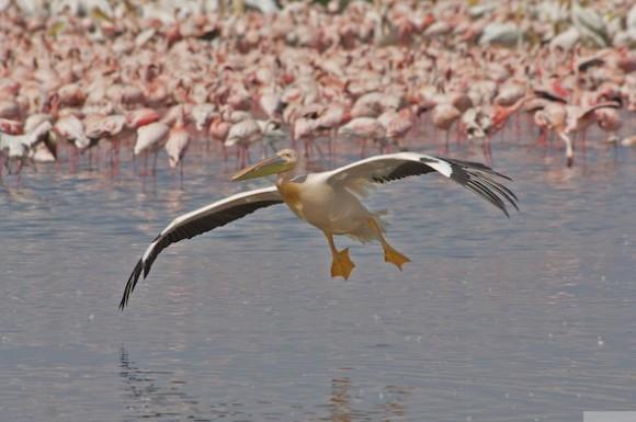 roze pelikaan en flamingo's_D2E7445